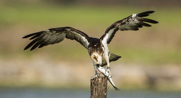 Falco-Pescatore-Foto-AFNI-Sardegna